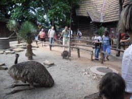 A képen egy emu látható