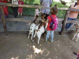 A képen egy kislány látható, amint két kecske mellett áll és figyelik az embereket