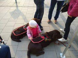A képen egy pici lány simizi a vakvezető kutyukat