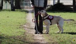 A képen egy vakvezető kutya látható, amint a fehér botos gazdáját nézi